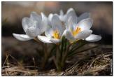крокусы фотографии цветов высокого качества