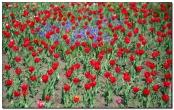 Поле красных тюльпанов открытка