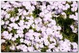 Множнство в кадре, белые цветочки