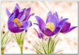 Сон-трава цветы