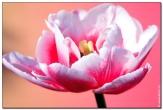 фотография тюльпаны