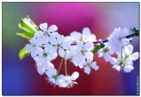 черешня фотографии цветов высокого качества