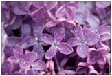 сирень фотографии цветов высокого качества