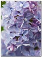 Голубая сирень фотография