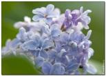 Голубые цветы сирени
