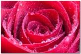 роза фотографии цветов высокого качества