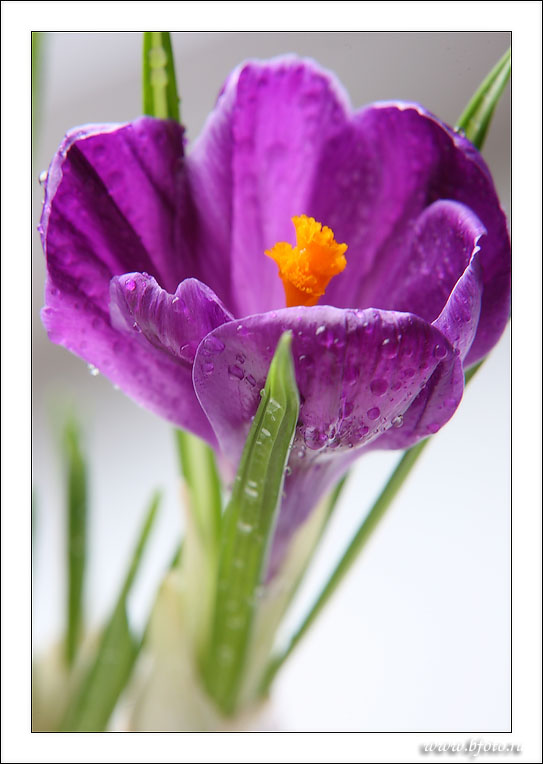 Crocus alatavicus photo