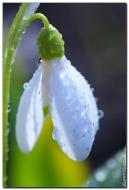 Подснежники цветы