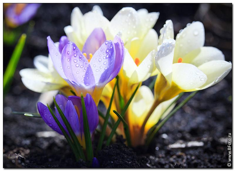Открытки, картинки с 8 марта крокусы