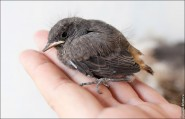 Горихвостка чернушка фото