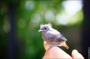 птицы Горихвостка чернушка