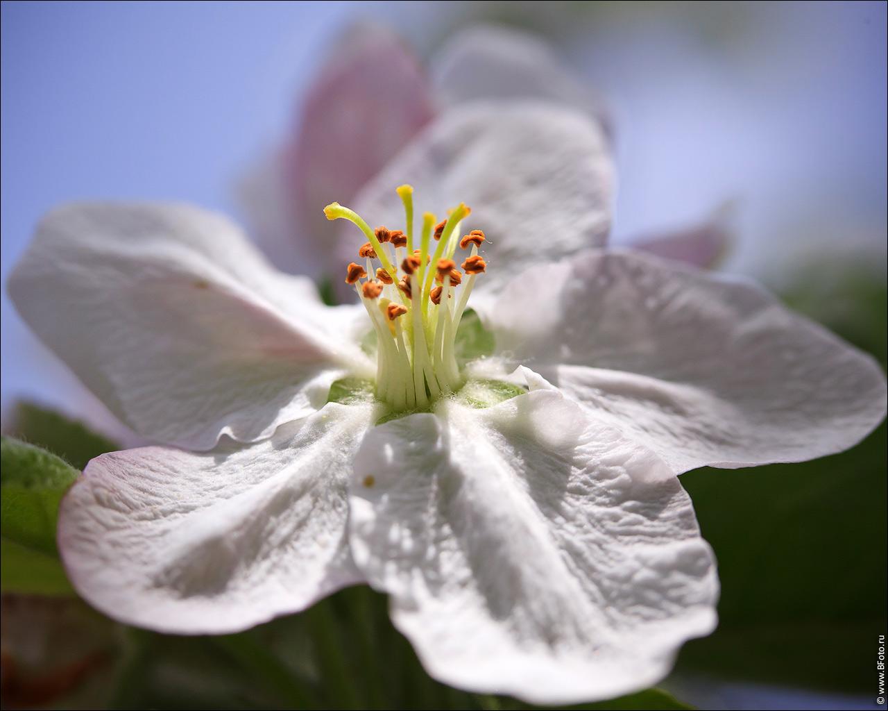 Весна, цветение яблони